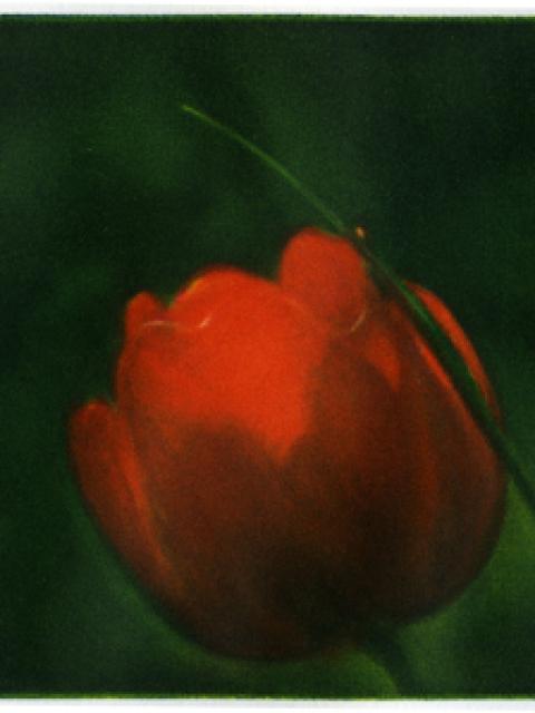 tulipe 10 x 15 cm